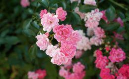 Чем полезно варенье из лепестков роз