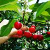 Польза вишни для здоровья. 6 фактов, о которых вы не знали