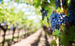Виноград: польза для здоровья малыша и для красоты мамы