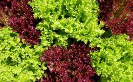 3 причины есть листовой салат каждый день
