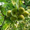 Заготовки из яблок без сахара