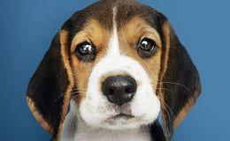 Эти глаза: ученые рассказали, как собакам удается манипулировать нами